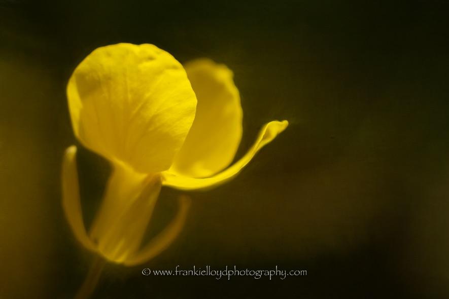 yellow-flower-daff