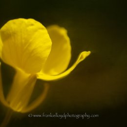 yellow-flower-daff