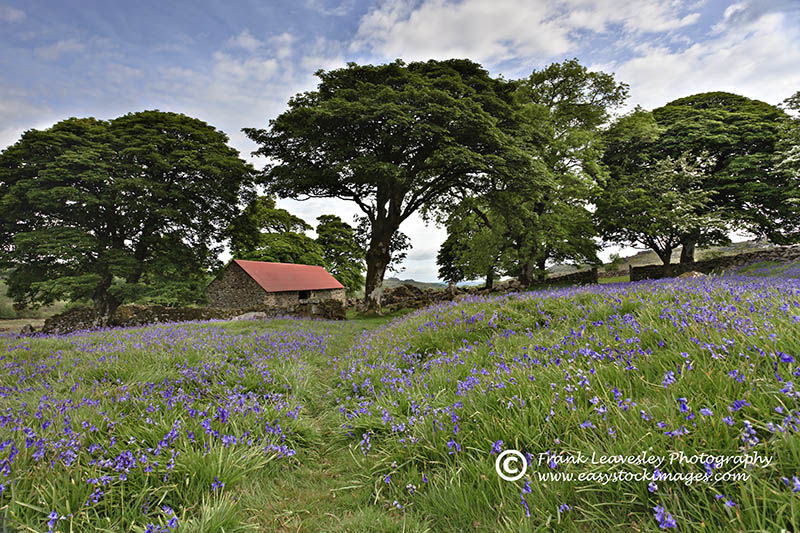 Bluebells On Dartmoor