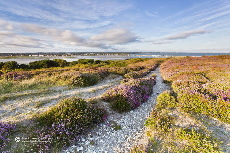 Hengistbury Head Heather