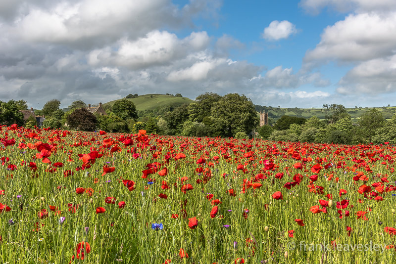 Poppies Cerne Abbas
