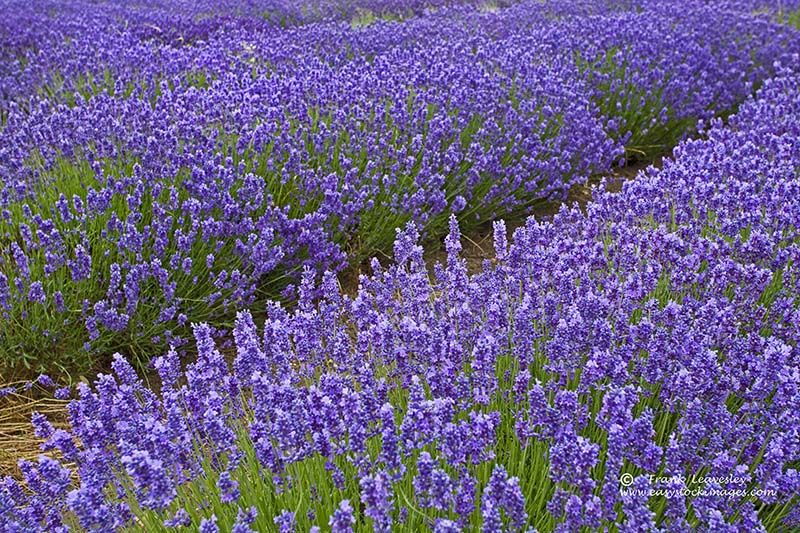 Purple Drift