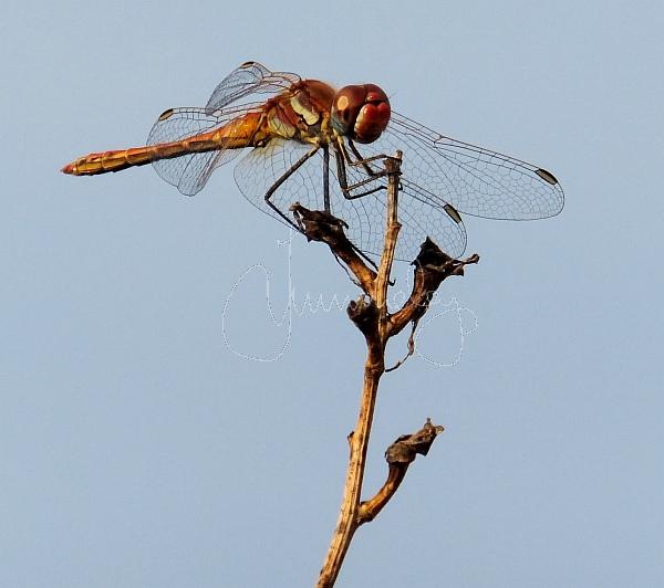 dragon fly monodendri 2013