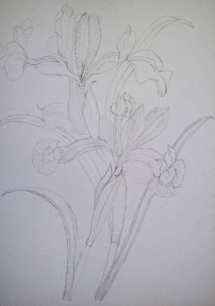 Botanical Study Drawing