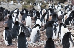 Brown Bluff - Adélie Penguins