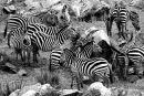 Zebra, Rekero Camp, Maasai Mara, Kenya.
