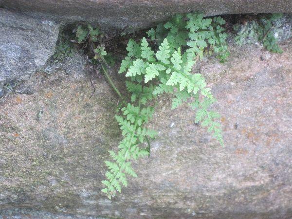 Brittle bladder fern (Cystopteris fragilis)