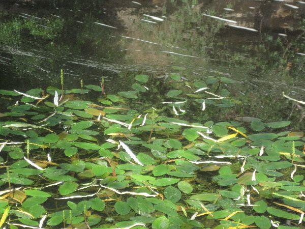 Broad-leaved Pondweed (Potamogeton natans)