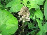Butterbur (Petasites hybridus)