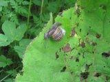 Garden snail (Cornu asperum)