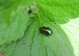 Green Dock Leaf Beetle (Gastrophysa viridula)