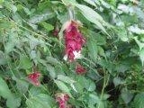 Himalayan Honeysuckle (Leycesteria formosa)
