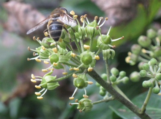 Ivy Flowers with foraging Hoverfly