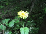 Leopards Bane (Doronicum pardalianches)