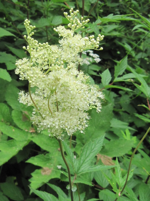 Meadow Sweet (Filipendula ulmaria)
