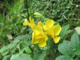 Monkeyflower (Mimulus guttatus)