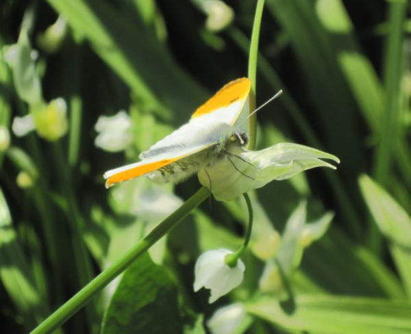 Orange Tip Butterfly on Few-flowered Leek