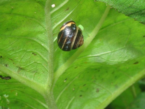 Probable brown-lipped snail (Cepaea nemoralis)