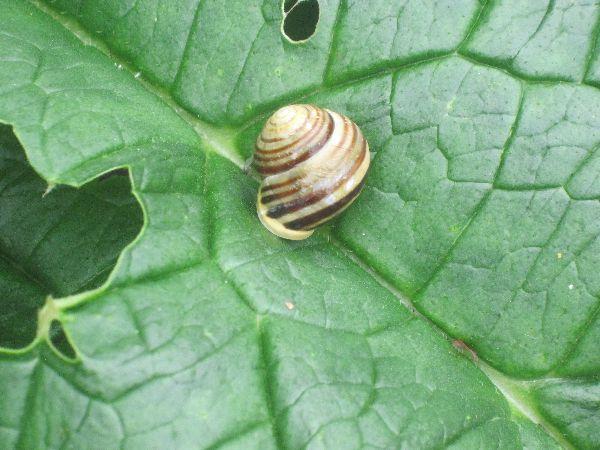 Probable white-lipped snail (Cepaea hortensis)