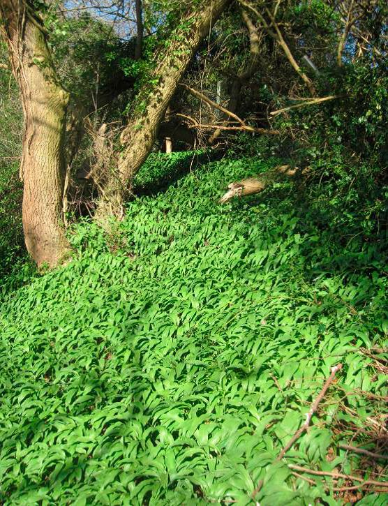 Ramsons at Salvesen Steps
