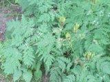 Sweet Cicely (Myrrhis odorata)