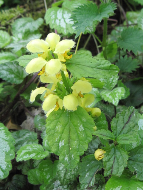 Variegated Yellow Archangel (Lamiastrum galeobdolon ssp. argentatum)
