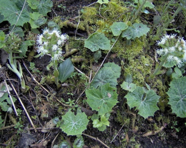 white butterbur (Petasites albus) in April