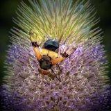 Colours - Bee on Teasel