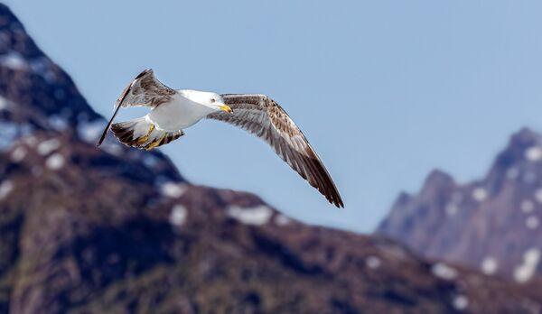 Arctic Yellow-Legged Gull