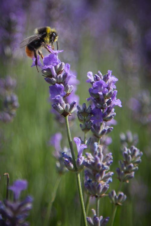 Bee on Lavender