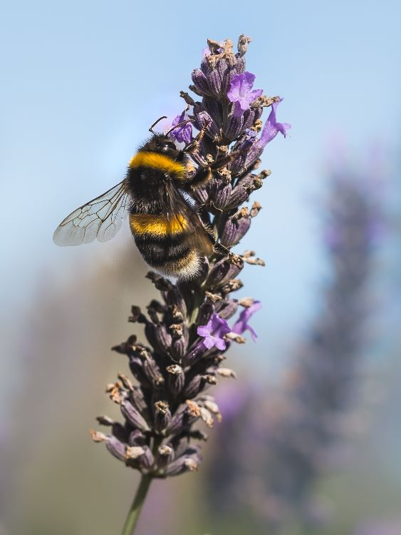 Busy Bee on Norfolk Lavender