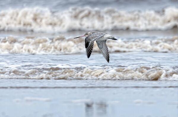 Bar-Tailed Godwit in Flight