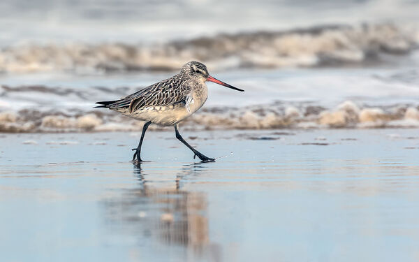 Bar-Tailed Godwit on the Shoreline