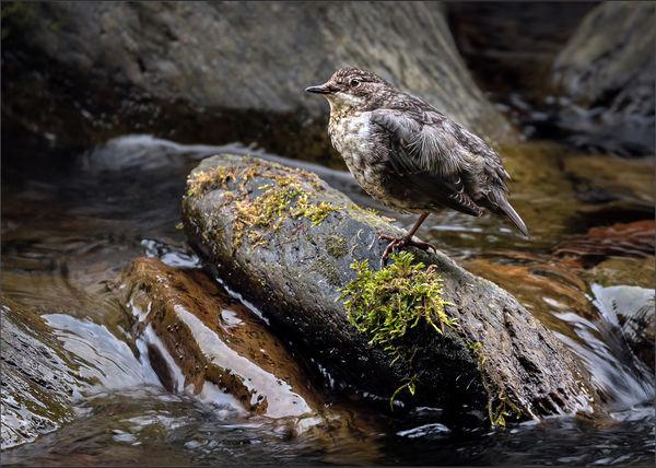 Dipper in Exmoor Stream