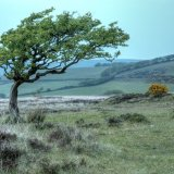 Exmoor Tree