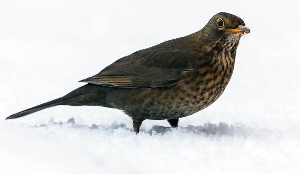 Female Blackbird in the Snow
