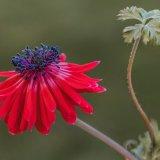 Garden Anemone