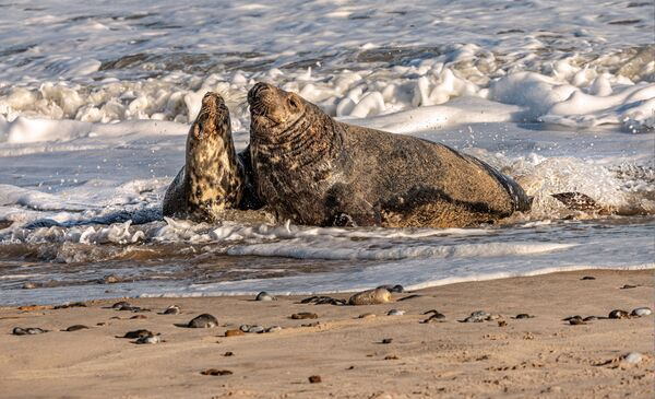Grey Seals Pairing