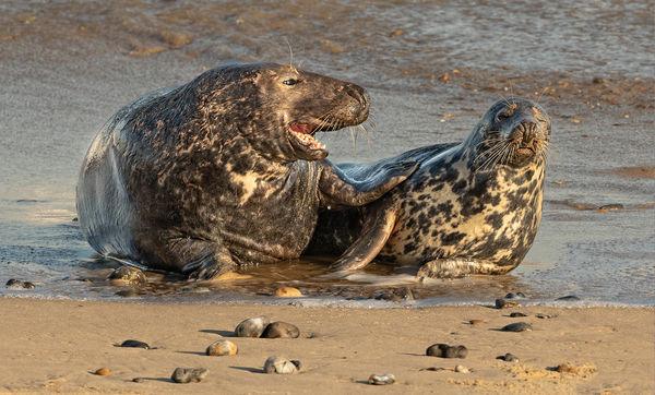 Male & Female Grey Seal