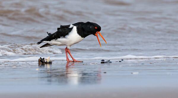 Oystercatcher Feeding