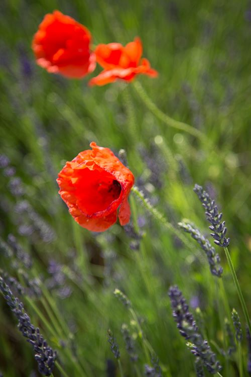 Poppies in Lavender