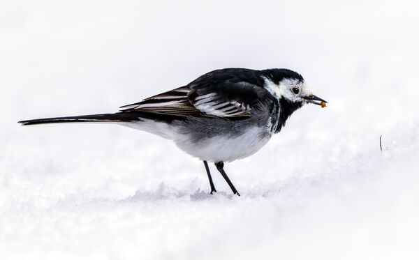 Pied Wagtail Feeding in the Snow