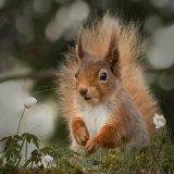 Red Squirrel, Highlands (2)