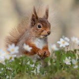 Red Squirrel, Highlands (1)