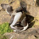 Mating Razorbills