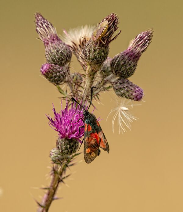 Six-Spot Burnet & Shield Bug