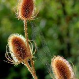 Teasels and Web