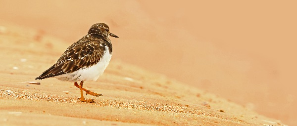 Turnstone Off to the Beach