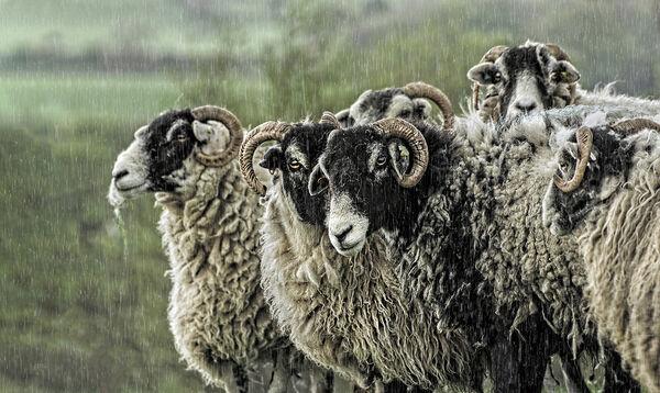 Wet Woolies