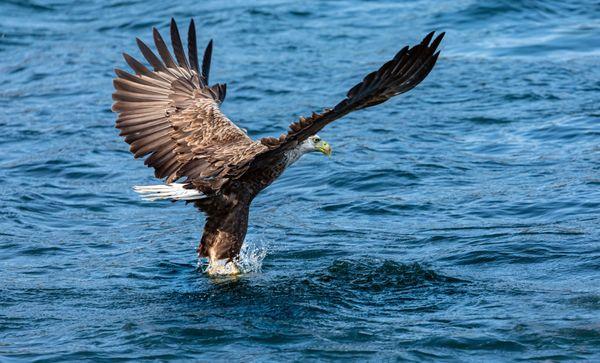 White-Tailed Sea Eagle (1)